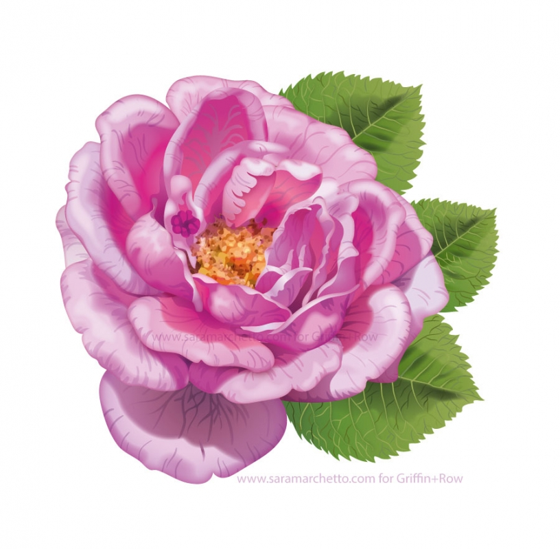 Vector illustrations of natural products: rosa-damascena